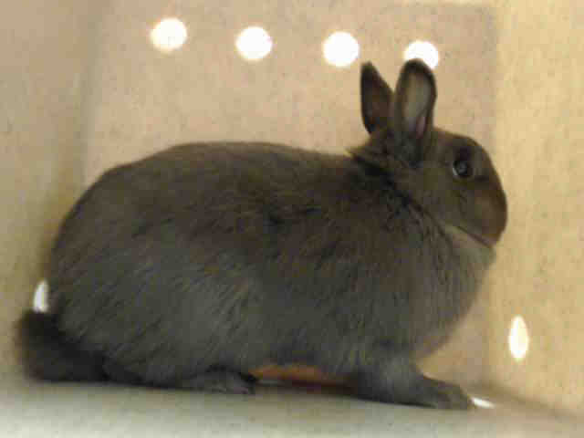 Adopt BOOTS a Bunny Rabbit