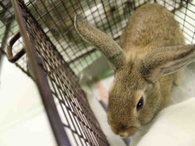 Adopt A1748848 a Bunny Rabbit