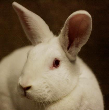 Adopt Stella a New Zealand, Bunny Rabbit
