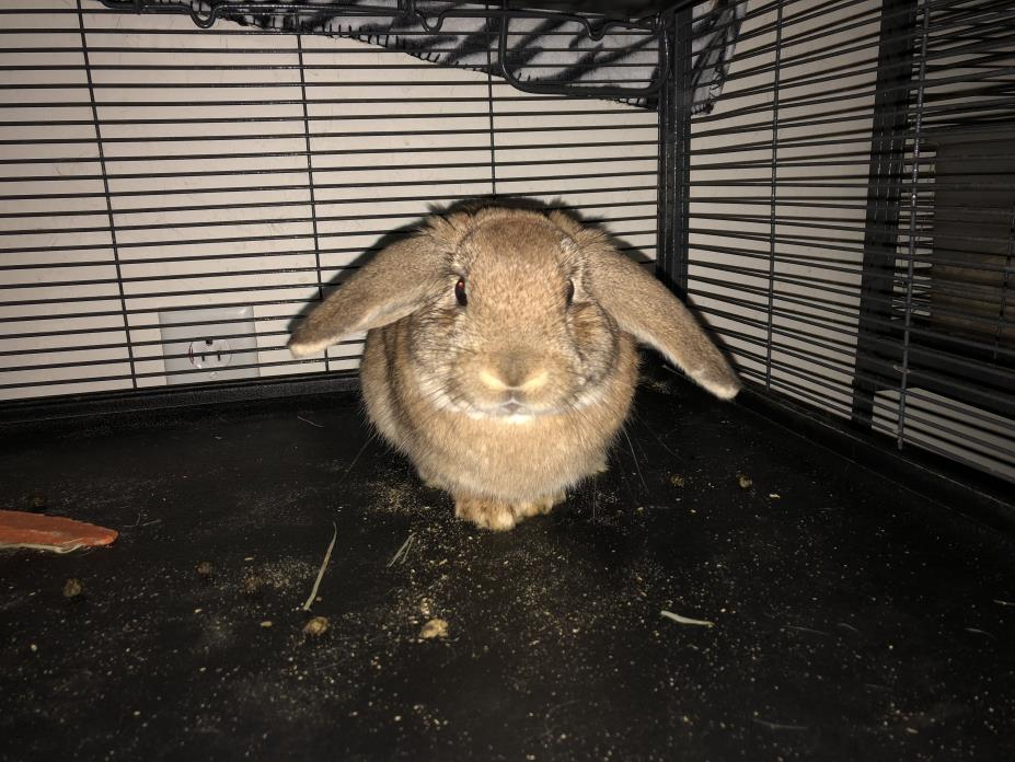 Adopt Pickett a Holland Lop