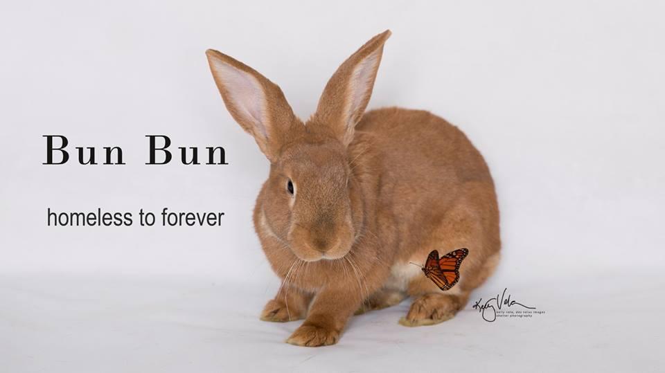 Adopt Bun-Bun a Flemish Giant
