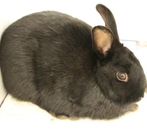 Adopt HOPPER a Bunny Rabbit