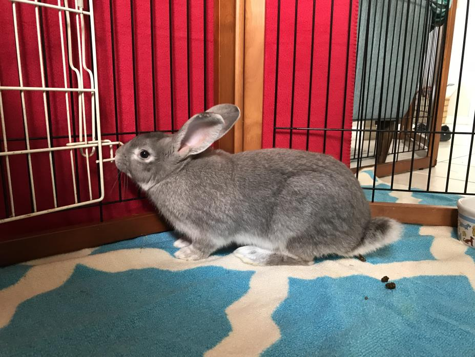 Adopt Lavender a Flemish Giant