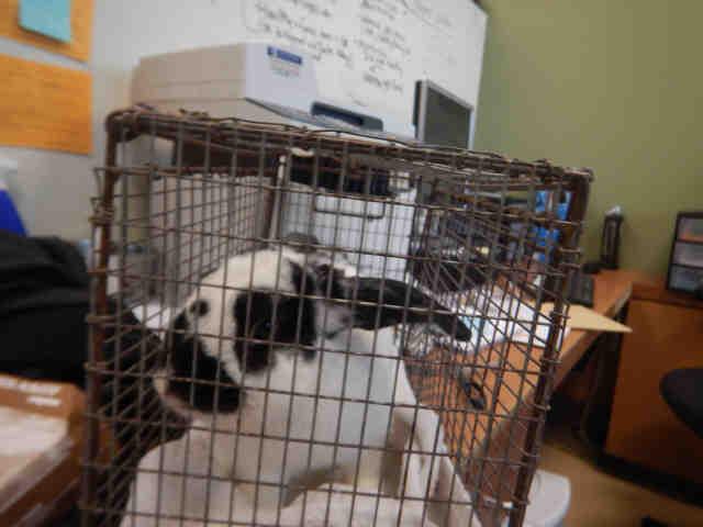 Adopt TIKO a Bunny Rabbit