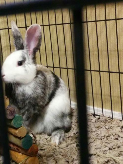 Adopt Marble a Bunny Rabbit