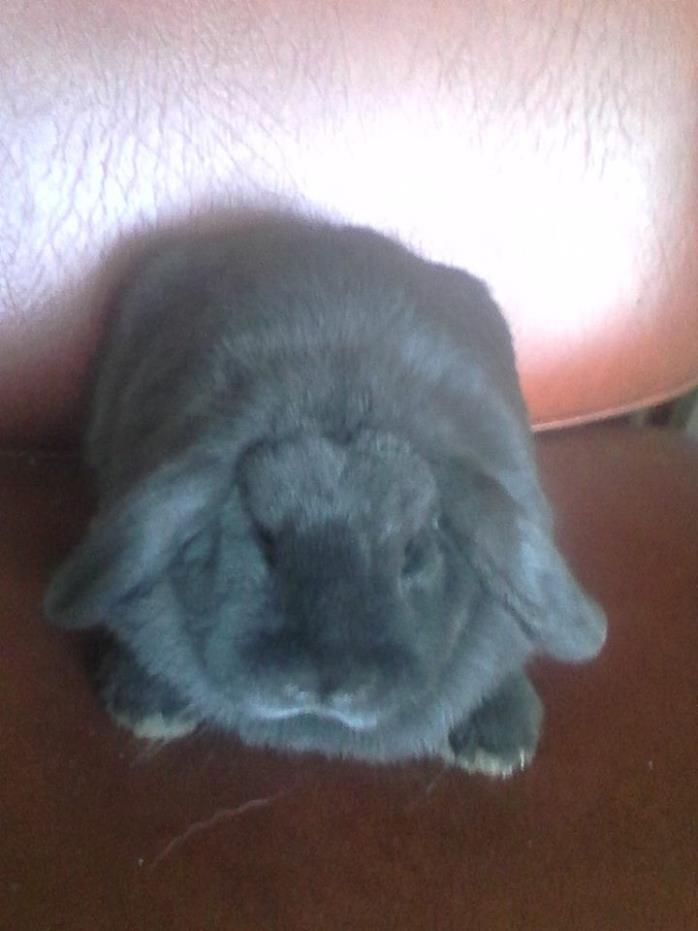 Adopt Arian a Grey/Silver Lop, Holland / Mixed (short coat) rabbit in Trenton