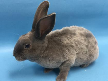 Adopt Nickel a Mini Rex