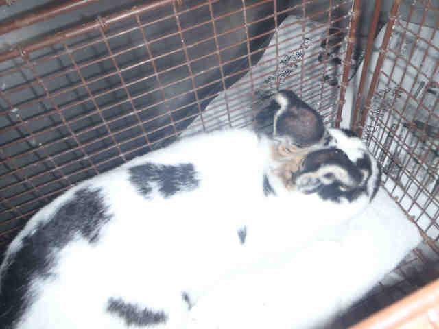 Adopt SPOT a Bunny Rabbit