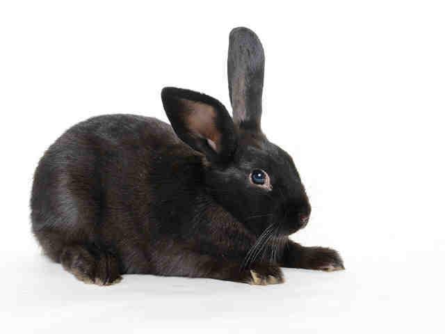 Adopt WINSTON a Bunny Rabbit