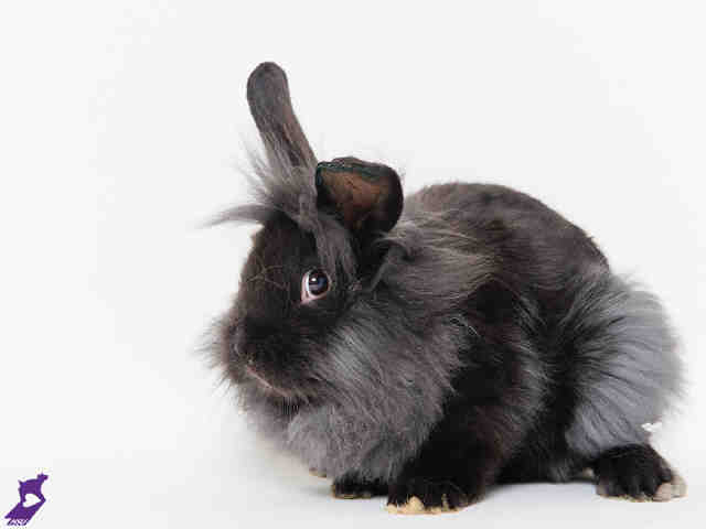 Adopt KNIGHT a Bunny Rabbit