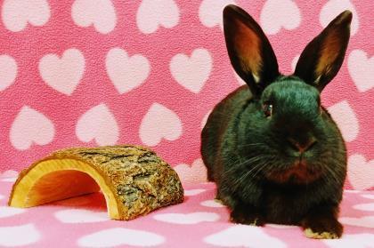 Adopt Max a American, Bunny Rabbit