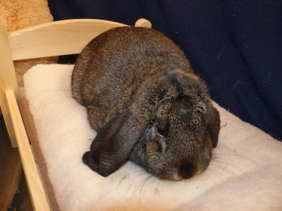 Adopt Boomer a French Lop, Mini Lop