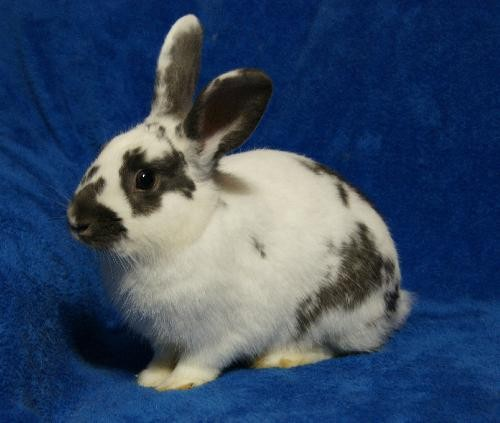 Adopt Boo Too & Blossom (hold) a Other/Unknown / Mixed rabbit in Baton Rouge