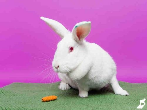 Adopt SNOWFLAKE a Other/Unknown / Mixed (medium coat) rabbit in Murray