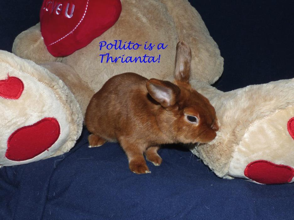 Adopt Pollito a Havana