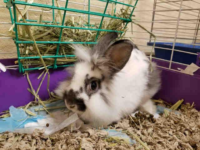 Adopt BOBBY HOPS a Bunny Rabbit