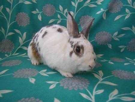 Adopt Rainger a Bunny Rabbit