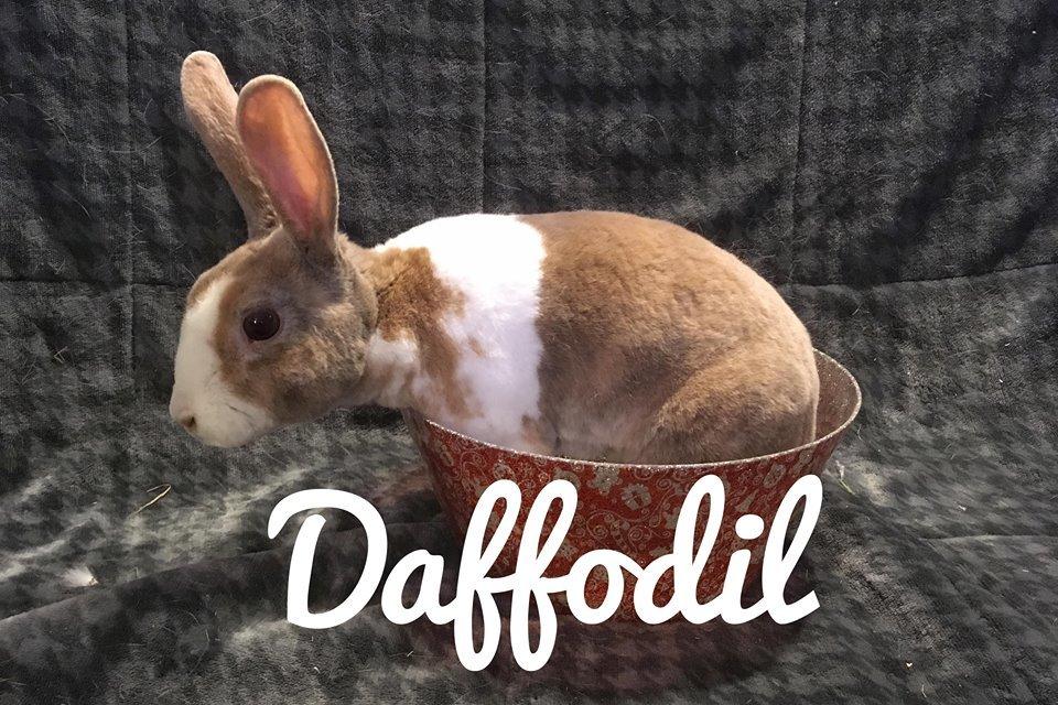 Adopt Daffodil a Mini Rex, Dutch