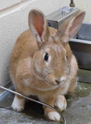 Adopt Eva a Tan American / American / Mixed rabbit in Owensboro, KY (20522611)