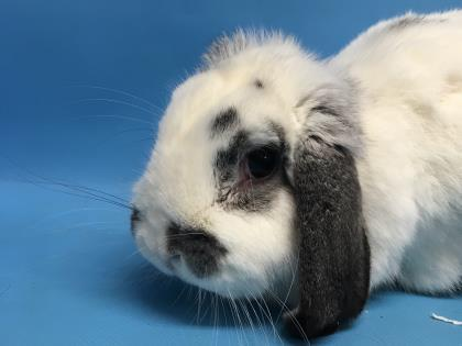 Adopt Dr. Zoidberg a English Lop