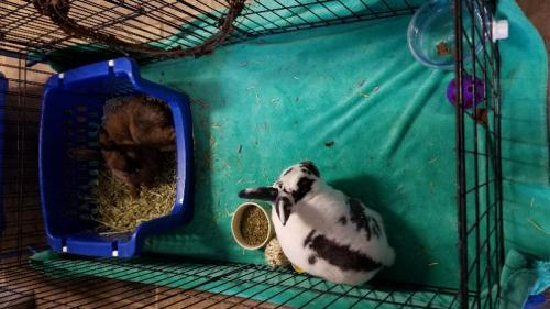 Adopt Blossom & Boo Too (hold) a Mini Rex