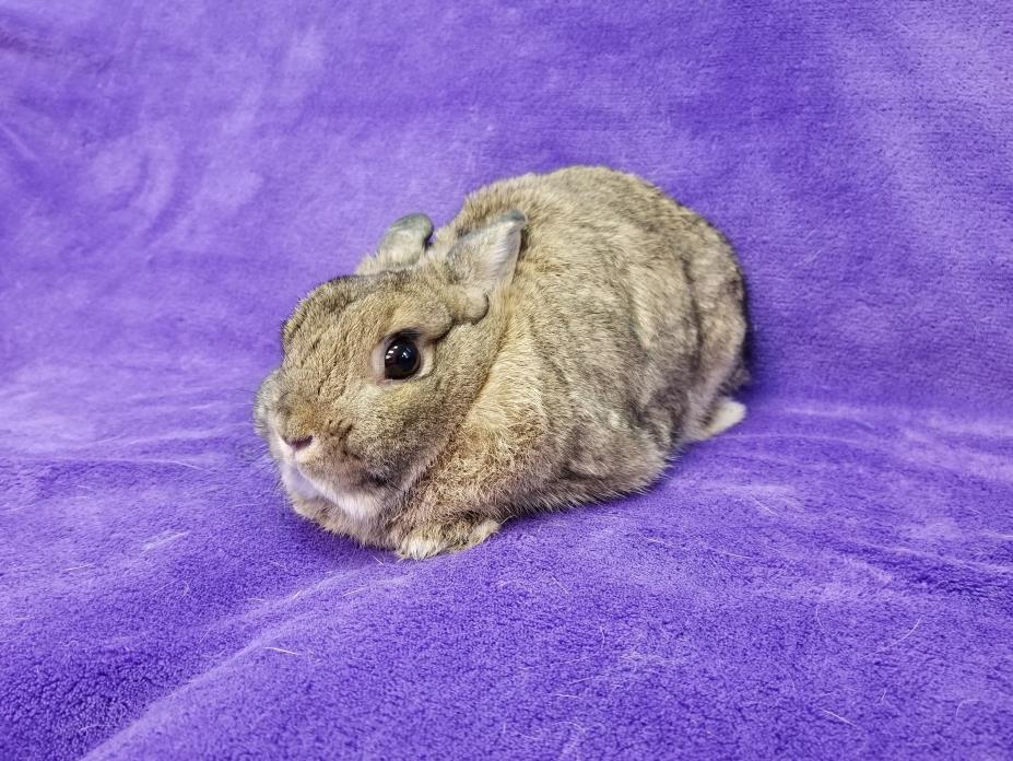 Adopt Bumper a Bunny Rabbit