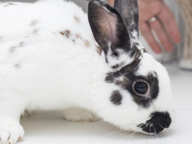 Adopt INKY a Bunny Rabbit
