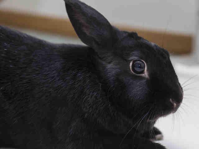 Adopt RUPEY a Bunny Rabbit