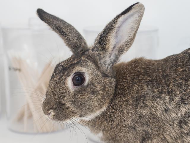 Adopt NIKITA a Bunny Rabbit