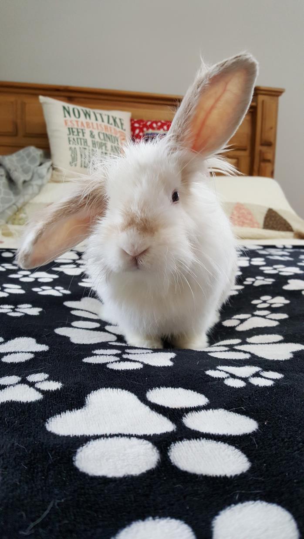 Adopt Bailey a Bunny Rabbit