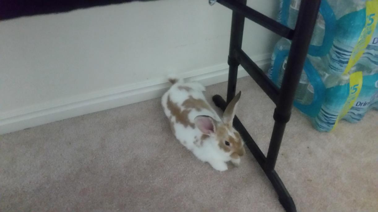 Adopt Opal a Bunny Rabbit