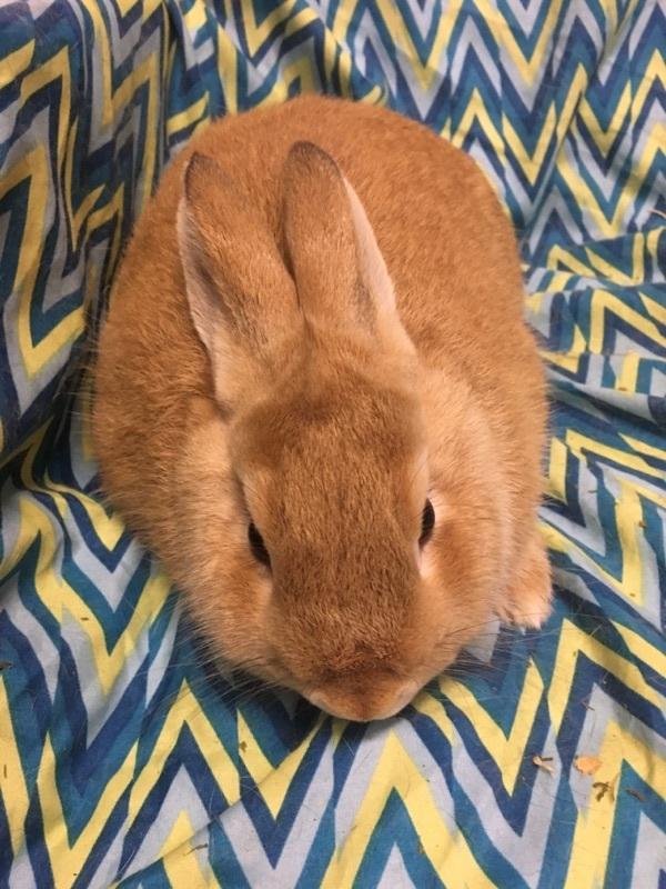 Adopt Sophie a Bunny Rabbit
