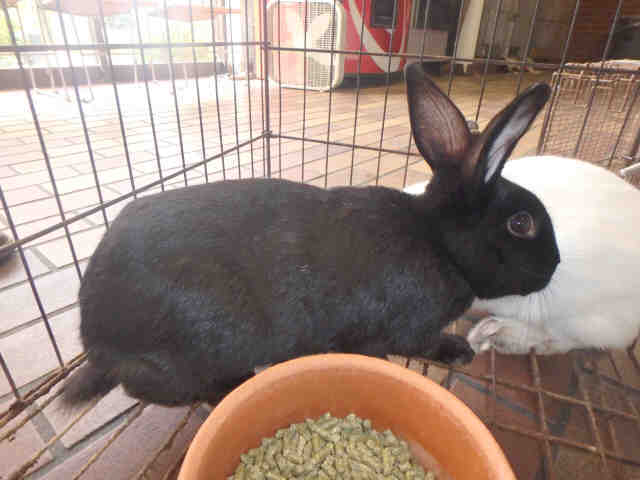Adopt BAMA a Angora Rabbit