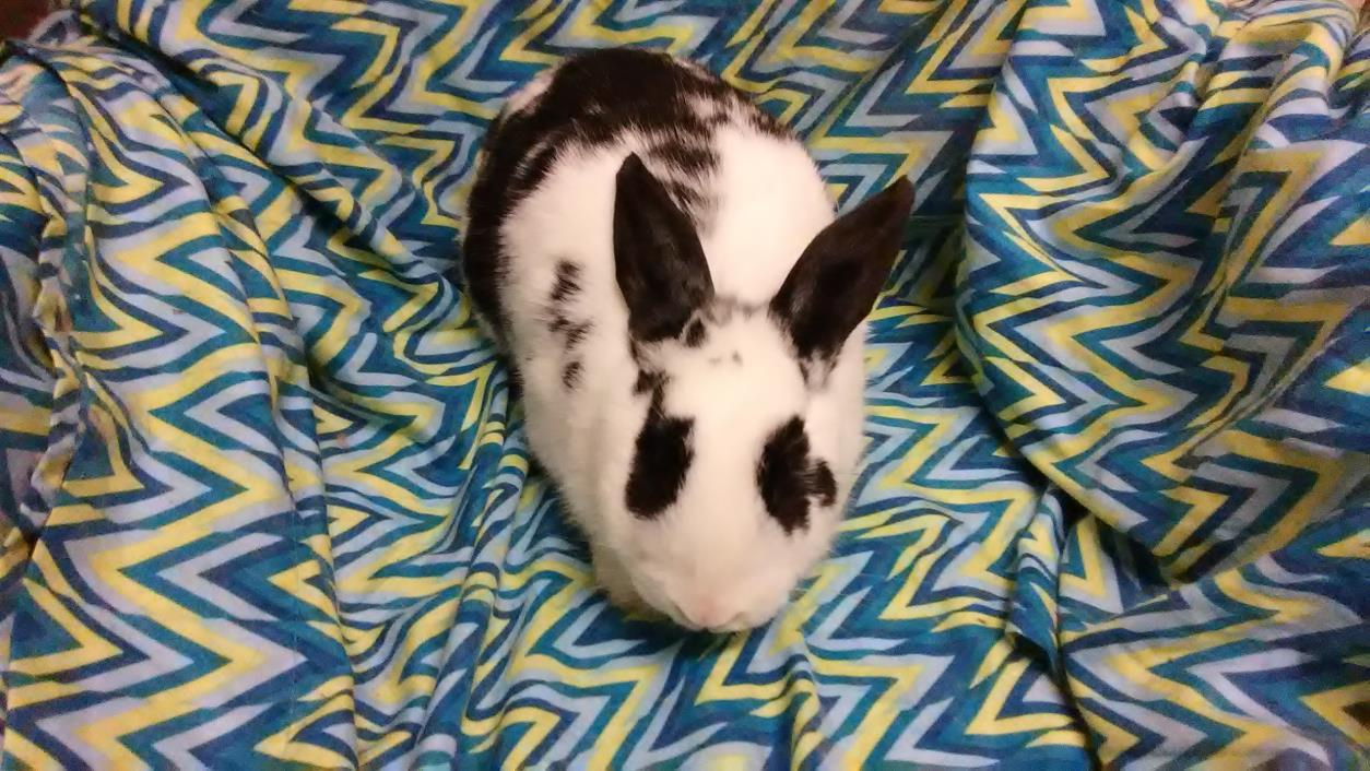 Adopt Lola a Other/Unknown / Mixed rabbit in Boise, ID (20541794)