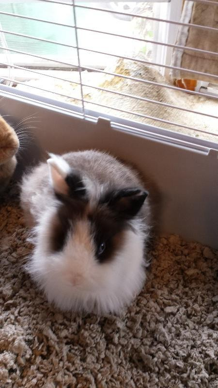 Adopt HARRIET a Lionhead / Mixed rabbit in Chicopee, MA (20538471)