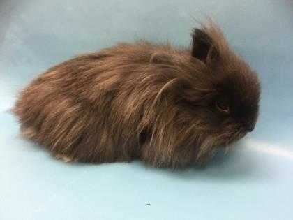 Adopt Fizzy a Grey/Silver Lionhead / Mixed rabbit in Golden Valley
