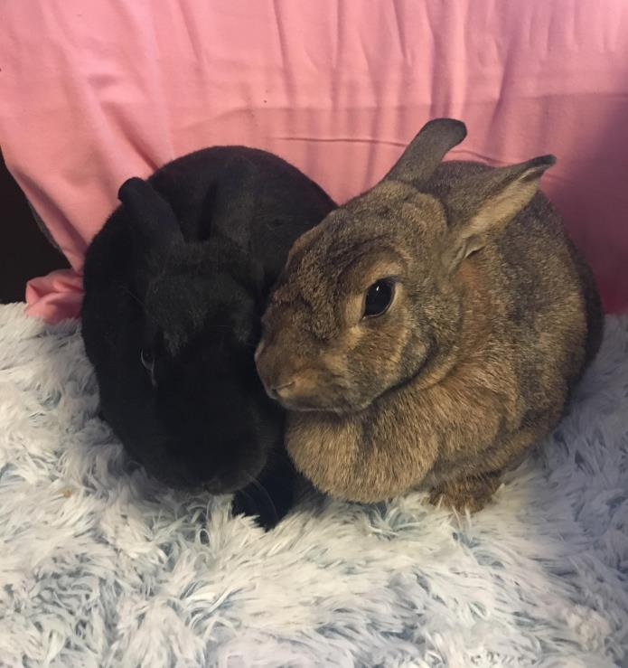 Adopt Blossom and Bob a Other/Unknown / Mixed rabbit in Idaho Falls