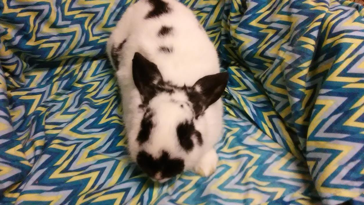 Adopt Linda a Other/Unknown / Mixed rabbit in Idaho Falls, ID (20539908)