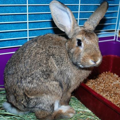 Adopt Hopper 647056 a Chocolate Other/Unknown / Other/Unknown / Mixed rabbit in