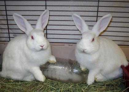 Adopt Blizzzard 647057 a White Other/Unknown / Other/Unknown / Mixed rabbit in