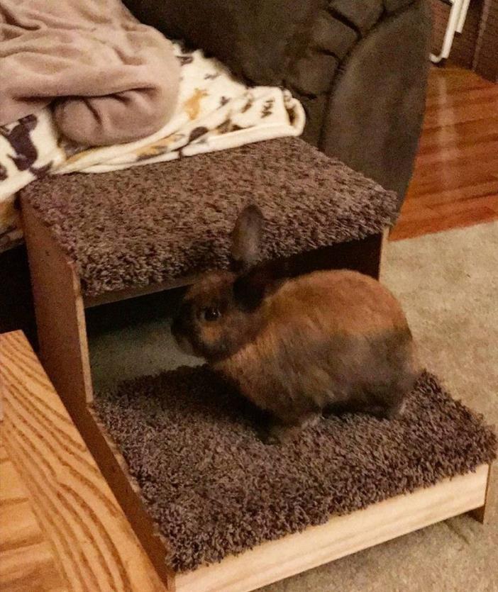 Adopt Padme' a Cinnamon Lop-Eared / Mixed rabbit in Idaho Falls, ID (20540292)