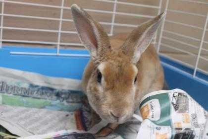 Adopt HARPER a Tan American / American / Mixed rabbit in Daytona Beach