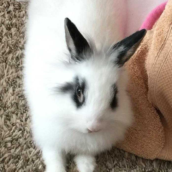 Adopt Fluffy a Other/Unknown / Mixed rabbit in Idaho Falls, ID (20540610)