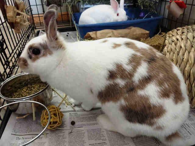Adopt VIOLET a Bunny Rabbit