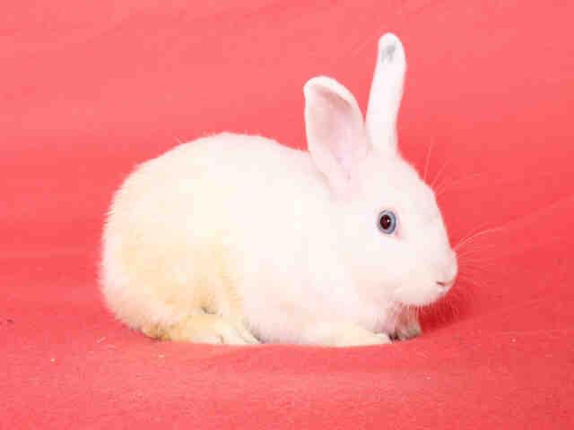 Adopt COSMO a Bunny Rabbit