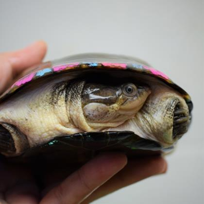 Adopt Chaz a Turtle - Other / Turtle - Other / Mixed reptile, amphibian