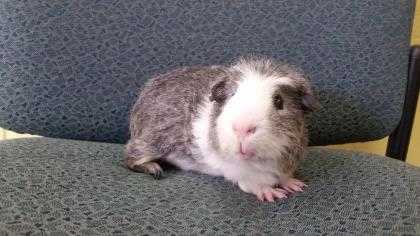 Adopt Badger a White Guinea Pig / Guinea Pig / Mixed small animal in Lowell