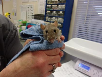 Adopt Monica a Rat