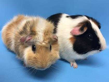 Adopt Low Key a Black Guinea Pig / Mixed small animal in Golden Valley