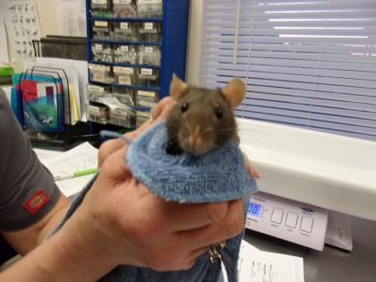 Adopt Rachael a Rat
